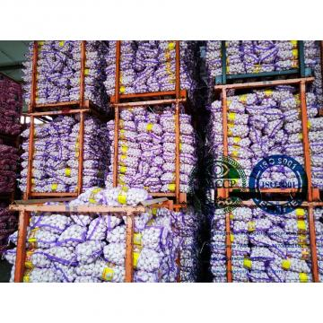Best quality garlic with meshbag to Philippines market from china