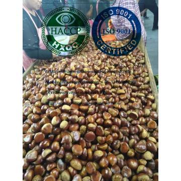2019 new crop chestnut to Turkey market from china