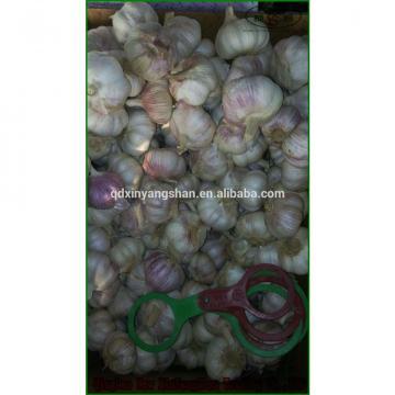 (HOT) Purple garlic exporters