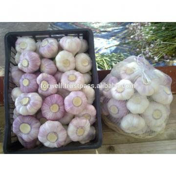 FRESH GARLIC FROM EGYPT WITH BEST PRICE FOR EXPORT
