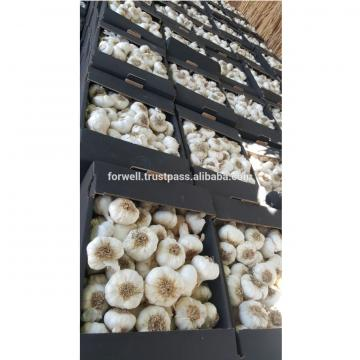 High Quality and Best Price Normal Fresh White Garlic
