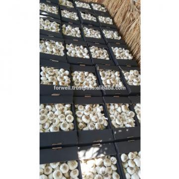 MODERN Fresh Egyptian Garlic