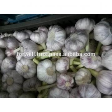 Forwell high quality Garlic New Season
