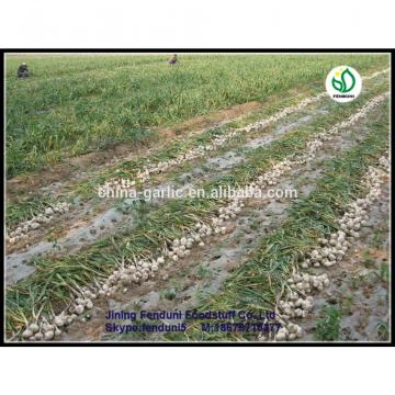 2017 chinese 5cm fresh garlic price new crop best price