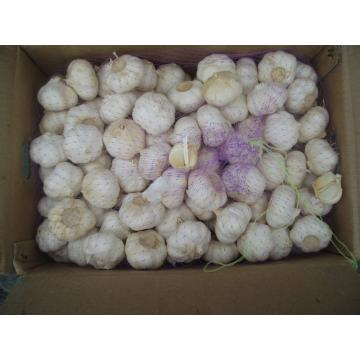 fresh white garlic in jinxiang lowest price