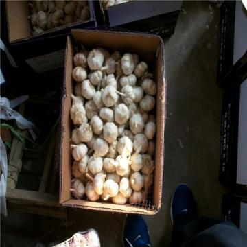 CHINA GARLIC WITH 10KG LOOSE CARTON PACKAGE