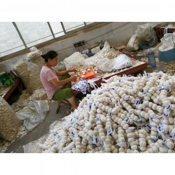 NEW CROP CHINA PURE WHITE GARLIC TO TURKEY