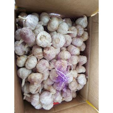 4.5cm-5.0cm Normal white garlic with 10 KG loose carton package to Tunisia market
