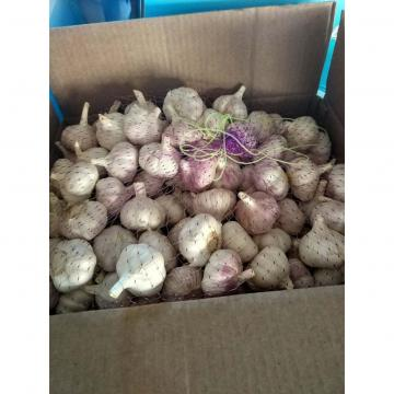 NORMAL WHITE GARLIC WITH CARTON PACKAGE TO SENEGAL MARKET FROM CHINA