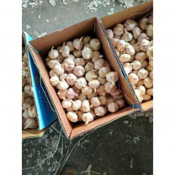 CHINESE NORMAL WHITE GARLIC WITH 10KG LOOSE CARTON PACKAGE TO SENEGAL MARKET