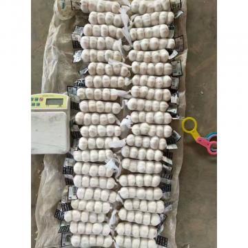 tube bag packed china pure white garlic to Kuwait Market