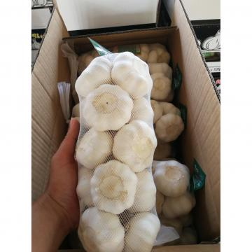 China pure white garlic with 500g*20 bags carton package to Japan Market