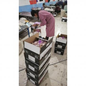 Pure white garlic with 10KG loose carton exported to Kenya market
