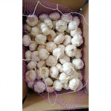 China 10KG loose carton pure white garlic to Kenya market