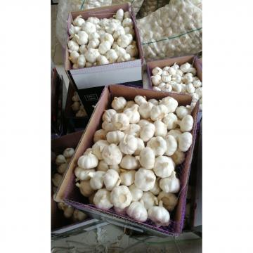 China 10KG loose carton pure white garlic to Kenya market