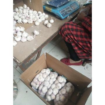 Normal white garlic with 500G &10 KG carton package to Middle East Market