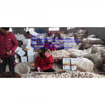Normal white garlic with10KG Loose carton package to Tunis market