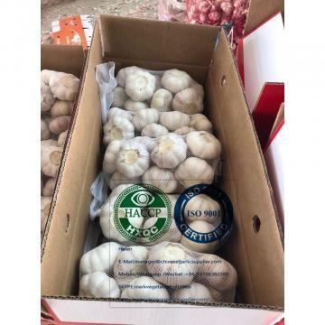 China normal garlic with tube meshbag are exported to Latin America market