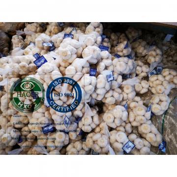 china pure white garlic with tube meshbag to Holland market