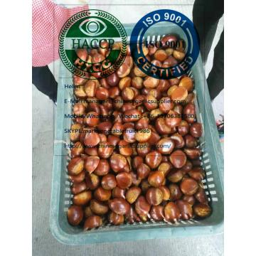 2019 new crop chestnut to Turkey market from china