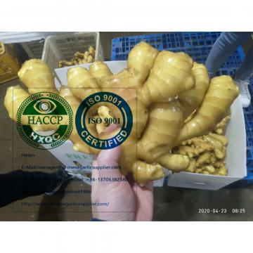 Fresh ginger with Plastic carton from china