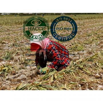 2020 new crop china garlic