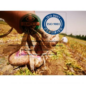 2020 new crop garlic from china