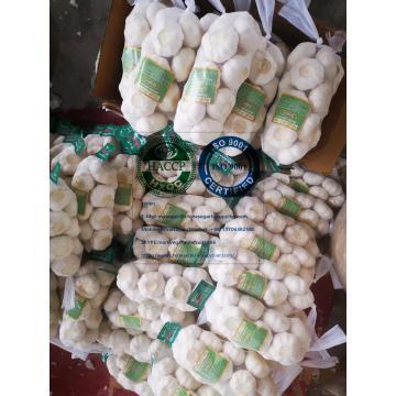Pure white garlic to Japan Market