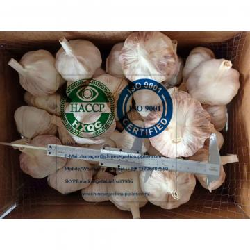 Big size normal white garlic to Brazil market