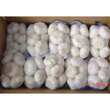 chinese purple white garlic