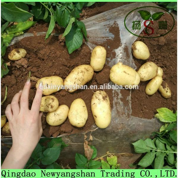 Fresh Garlic For Sale China Garlic Packing In Mesh Bag #4 image
