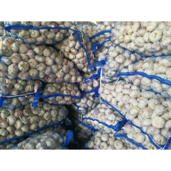 NEW CROP GARLIC WITH MESHBAG PACKAGE TO DR MARKET FROM FACTORY #1 image